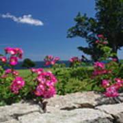 Summer Roses Poster