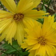 Summer Yellow Coreopsis Poster