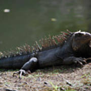 Sun Bathing Iguana Beside A Body Of Water Poster