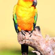 Sun Conure (aratinga Solstitialis) Poster