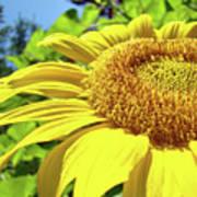 Sun Flower Art Sunlit Sunflower Giclee Prints Baslee Troutman Poster