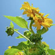 Sun Flower Artwork Sunflower 5 Giclee Art Prints Baslee Troutman Poster