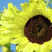 Sun Flower Garden Art Prints Sunflowers Baslee Troutman Poster