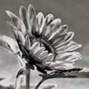 Sun Flower - Id 16235-142753-8673 Poster