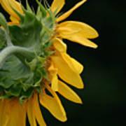 Sun Flower On Black Poster