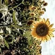 Sun Flowers  Poster