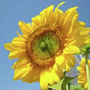 Sun Flowers Garden Art Prints Baslee Troutman Poster