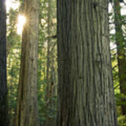 Sun In The Cedars Poster