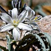 Sun Soaked Desert Lily Poster