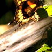 Sunbathing Butterfly Poster