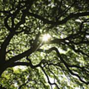 Sunburst Through Tree Poster