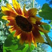 Sunflower 121 Poster