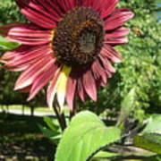 Sunflower 143 Poster