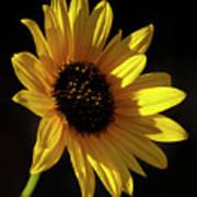 Sunflower 2 Poster