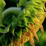 Sunflower 2017 14 Poster