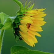 Sunflower 2017 2 Poster