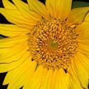 Sunflower At Dusk Poster