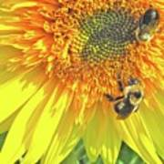 Sunflower Bees Poster
