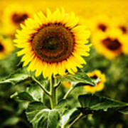 Sunflower Crops On A Farm In South Dakota Poster