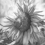 Sunflower Dawn Black And White Drawing Poster