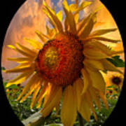 Sunflower Dawn In Oval Poster