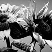 Sunflower Duo Bw Poster