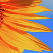 Sunflower Elegance Poster