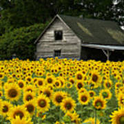 Sunflower Field And Barn Poster