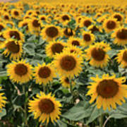 Sunflower Field France Poster