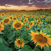 Sunflower Field In Longmont, Colorado Poster by Lightvision
