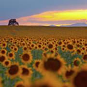 Sunflower Field Poster by Lightvision, LLC