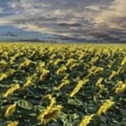 Sunflower Fields Near Denver International Airport Poster