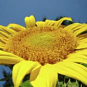Sunflower Garden Art Print Yellow Summer Sun Flower Baslee Poster