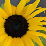 Sunflower II Poster