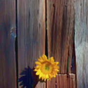 Sunflower In Barn Wood Poster by Garry Gay