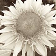 Sunflower In Soft Sepia Poster