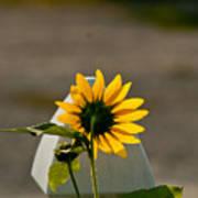 Sunflower Morning Poster