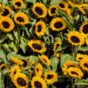 Sunflower Near Van Gogh Museum Poster