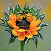 Sunflower Opens Poster