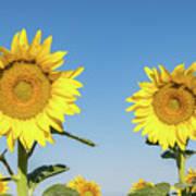 Sunflower Pair Poster