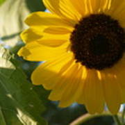 Sunflower Portrait With Leaf Poster