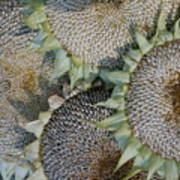 Sunflower Seed Heads Dried To Perfection Poster