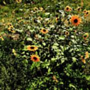 Sunflower Stalks Poster