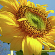 Sunflower Sunlit Sun Flowers 6 Blue Sky Giclee Art Prints Baslee Troutman Poster