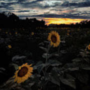 Sunflower Sunset Poster