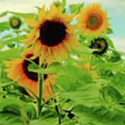 Sunflower Trio Poster
