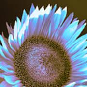 Sunflower Dusk Poster