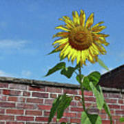 Sunflower With Brick Wall Poster Poster