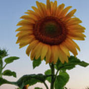 Sunflowers 4 Poster