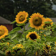 Sunflowers And Red Barn 2 Poster